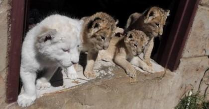 turkish_cargo_aslanlar